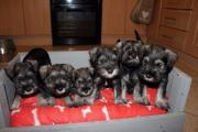 6 Miniature Schnauzer puppies,Dewormed vet checked and Vaccinated