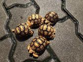 Active And Healthy Young Tortoises Available For Sale