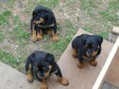Active Rottweiler Puppies Available For Sale