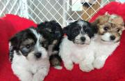 Beautiful  Havanese Babies For Sale Girls And Boys!