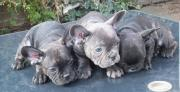 Pure breed chocolate carrier French bulldog for sale