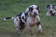 Purebred Great Dane Puppies Health tested