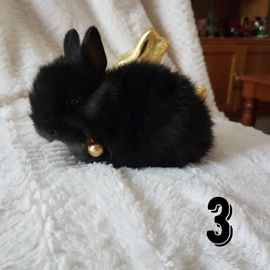 Beautiful Baby Dwarf Jersey Wooly Bunnies For Sale