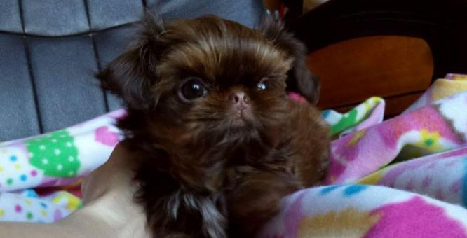 Beautiful Teacup Shih Tzu Puppies