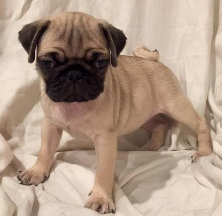 Fawn Male and Female Pug Puppies Ready for sale