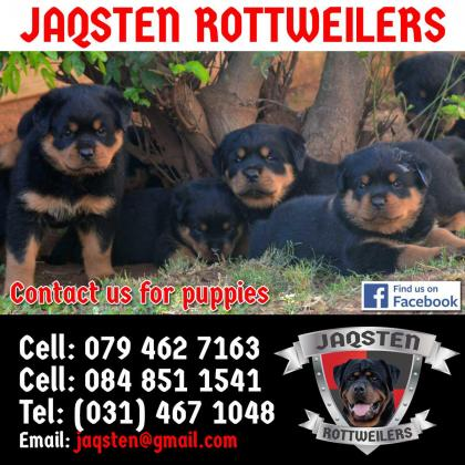 KUSA Registered Rottweiler Pups for Sale