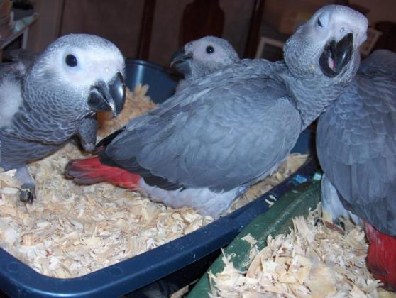 LOVELY AFRICAN GREY PARROTS FOR SALE