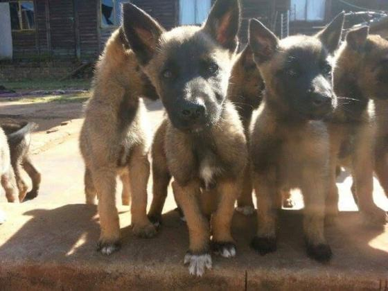 Malinois Puppies for sale