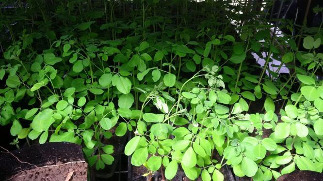 Moringa Oleifera (Miracle or Drumstick tree) seedlings for sale