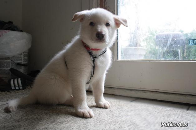 Adorable White German shepherd Puppy