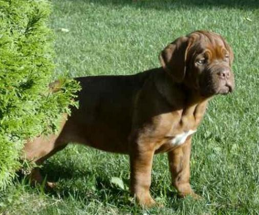 Excellent Dogue De Bordeaux (French Mastiff) puppies for sale