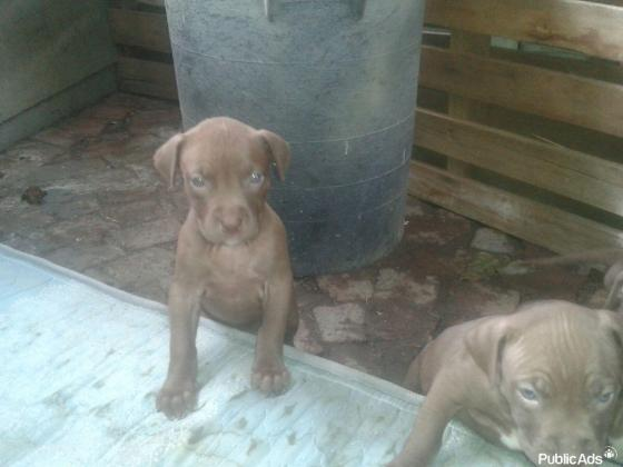 Pedigree pitbull puppies