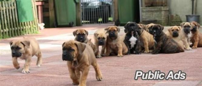 Lovely Boerboel  puppies