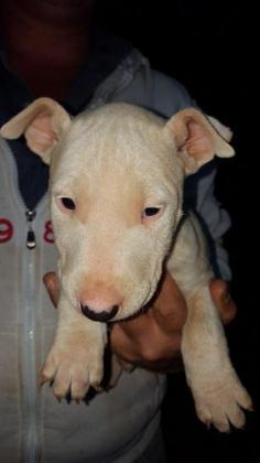 Pure Bred Bullterrier Pups
