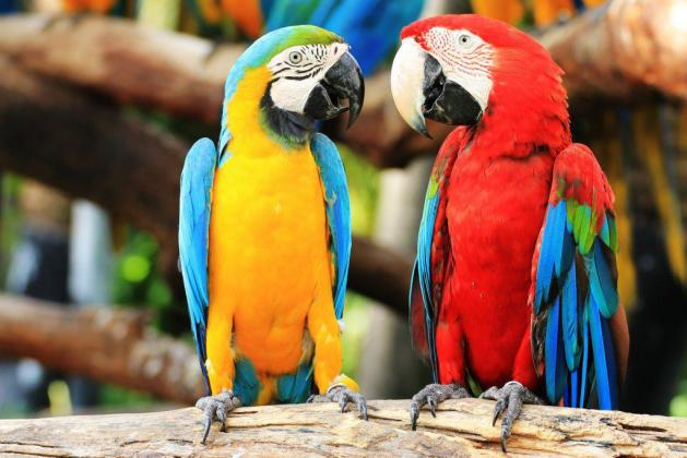 2 years old blue and gold macaws