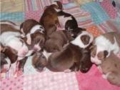 Alapaha Blue Blood Bulldog puppies for Sale