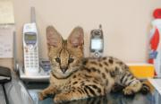 Beautifully marked!! Baby cSavannah Kittens