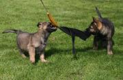 German Shepherd Pups For Personal Protection