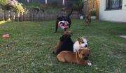 staffie /Staffordshire puppies for sale