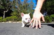 AKC quality French Bulldog Puppy for free adoption