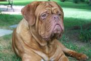 Excellent Dogue De Bordeaux (French Mastiff) puppies for sale