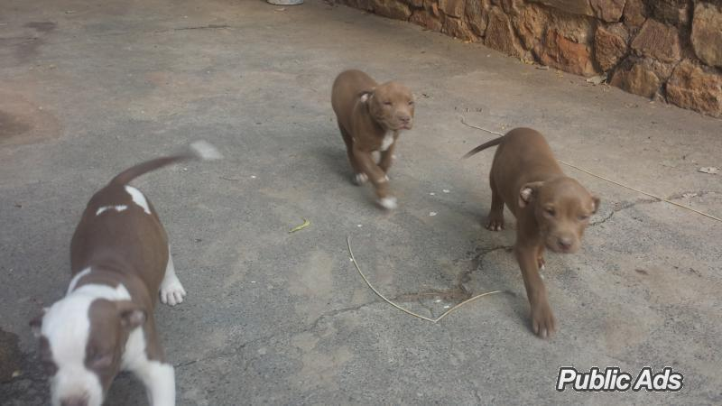 ... Pitbull Puppies for sale