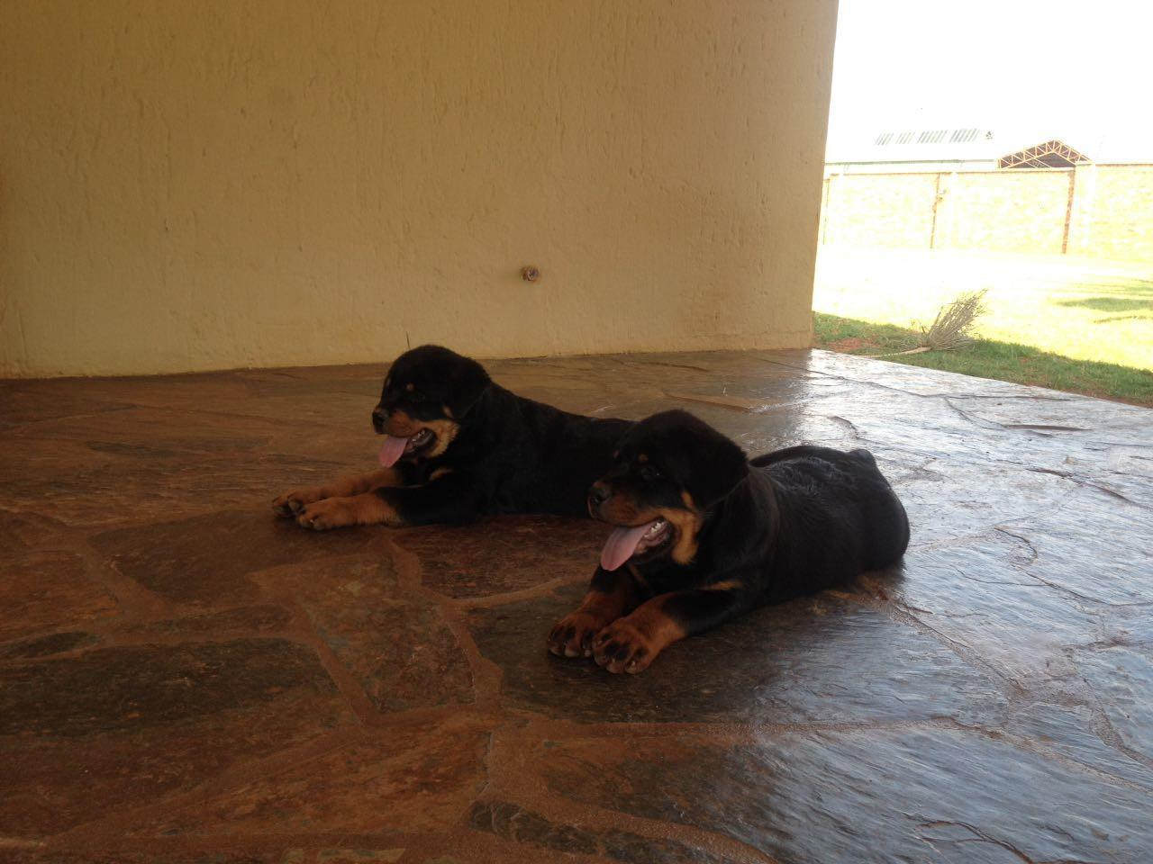 Rottweiler puppies co za
