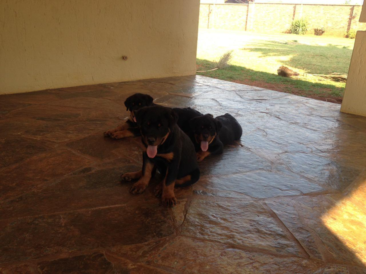 Rottweiler puppies for sale | Benoni | Public Ads Rottweiler Dogs
