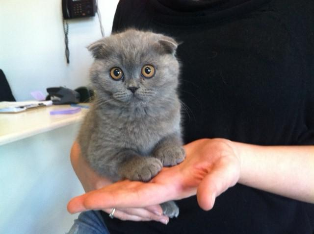 Blue Kittens For Sale : Adorable scottish fold blue kittens for sale chatsworth public