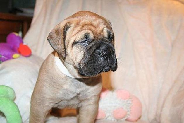 Adorable  Bullmastiff Puppies for sale