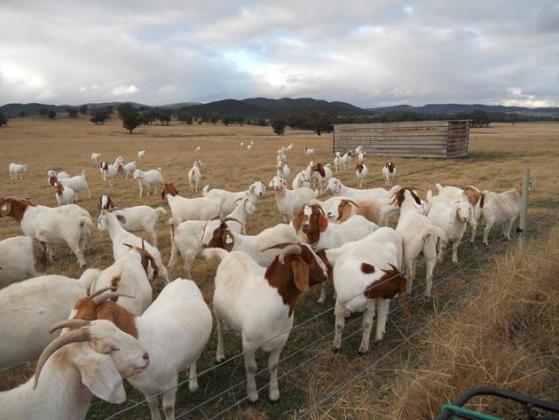 40 top unshed Boer Goat flock grade does for sale,, in Brakpan, Gauteng