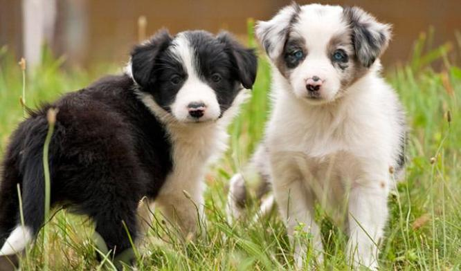 Beautiful Border Collie puppies for sale in Nelspruit, Mpumalanga