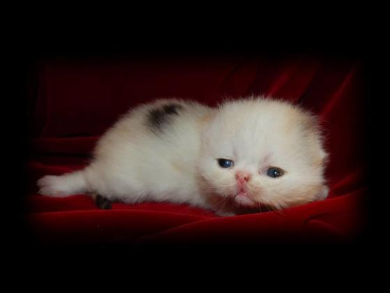 9 weeks old exotic persian kittens ready to go