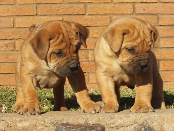 Adorable Boerboel puppies for sale