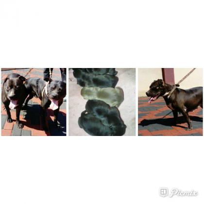 American pitbull puppies for sale