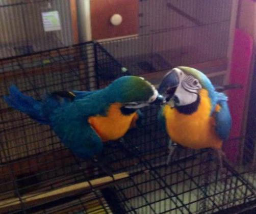CONGO AFRICAN GREY AND MACAW PARROTS FOR SALE