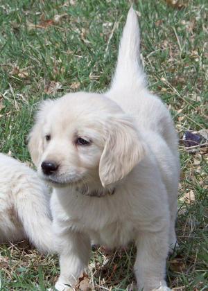 European bloodlines Golden Retrievers Puppies