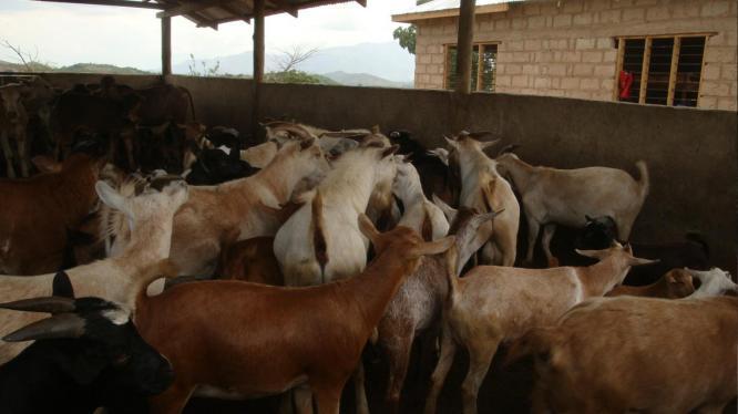 Koop direk Hay Bale /Boer / Goat/ Sheep/ Cow/ Egg/ Peacock in Rustenburg, North West