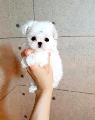 Pocket/Teacup Maltese Size Puppies