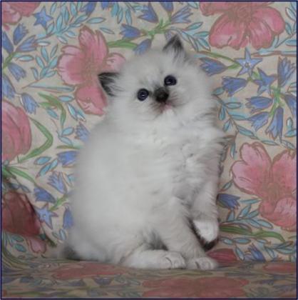 Stunning Pedigree Ragdoll Kittens Available