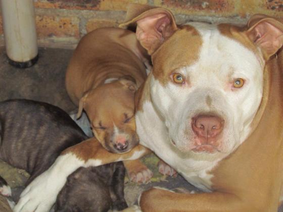 Beautiful Purebred Yellow Bolio Pitbull Puppies