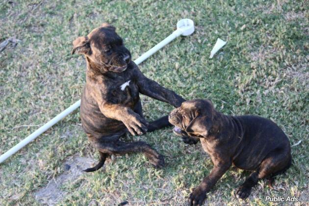 Italian Mastiff (Cane Corso)