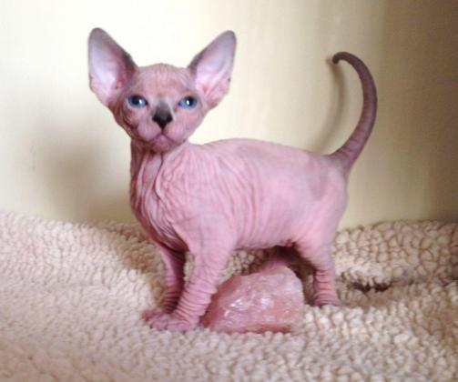 Awasome Sphynx Kittens For Good Home