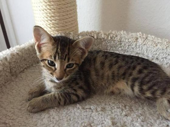 Well Socialized F1 and F2 Savannah Kittens Available - For Sale in Klerksdorp, North West