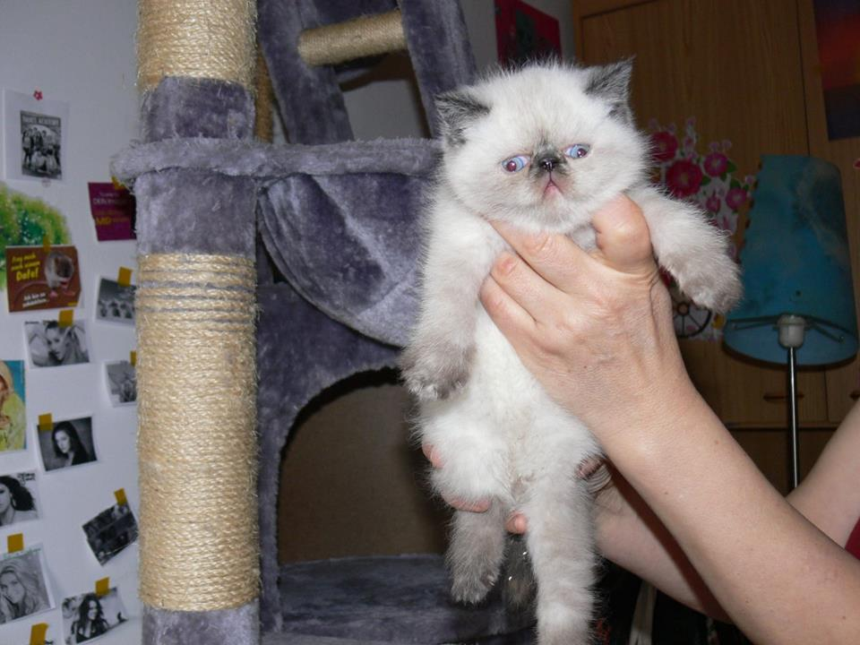 Gorgeous Exotic Kittens ! - For Sale   Delft   Public Ads