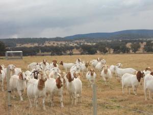40 top unshed Boer Goat flock grade does for sale,,
