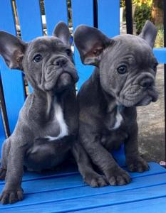 French Bulldog Dogs Or Puppies for sale in South Africa
