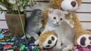 Excellent Scottish Fold Kittens