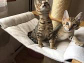 Gorgeous Savannah kittens-2 Females Available!! - For Sale
