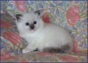 Stunning Pedigree Ragdoll Kittens Available